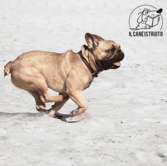 cane-corso-migliore-addestramento-webinar