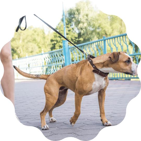 perchè cane tira al guinzaglio corso